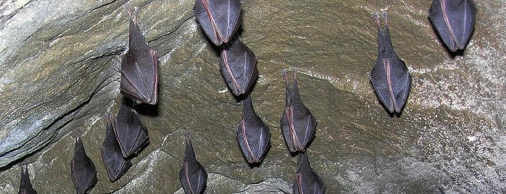 Podkowce małe
